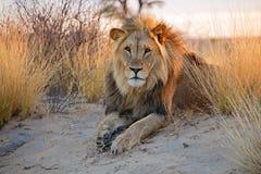 afrikansk stor lionmanlig royaltyfri fotografi