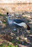 Afrikansk stork Arkivfoton