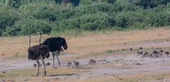 Afrikansk struts i savannet av i Zimbabwe, Sydafrika royaltyfri bild