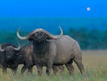 Afrikansk svart buffel royaltyfri fotografi