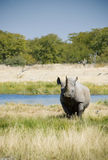 afrikansk svart utsatt för fara noshörning Royaltyfri Fotografi