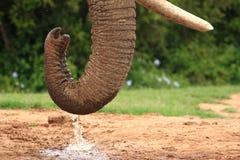 afrikansk tjurelefant Arkivbild