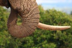 afrikansk tjurelefant Royaltyfria Bilder