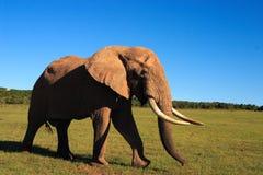 afrikansk tjurelefant Arkivfoton