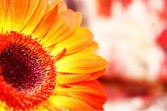 Afrikansk tusensköna.  snida. apelsin Arkivbild
