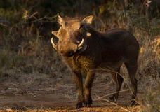Afrikansk vårtsvin i morgonljuset Fotografering för Bildbyråer