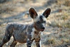 Afrikansk valp för Wild hund Arkivbilder