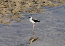 Afrikansk vattenfågel som söker efter mat arkivfoton