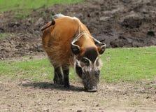 Afrikansk vildsvin (den Potamochoerus porcusen) Fotografering för Bildbyråer