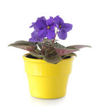 afrikansk violet Royaltyfri Fotografi