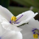afrikansk violet 25 Royaltyfri Fotografi