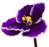 Afrikansk violet Fotografering för Bildbyråer