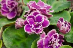 Afrikansk violet Arkivfoto