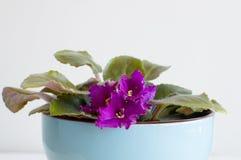Afrikansk violet i blåttkruka Fotografering för Bildbyråer