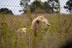 Afrikansk vit lion Arkivbilder