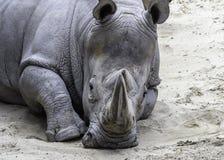 Afrikansk vit noshörning Royaltyfria Bilder