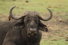 Afrikansk vuxen buffel Royaltyfria Bilder