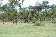 Afrikansk wild hundkapplöpning Arkivbilder