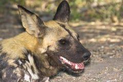 afrikansk wild hundlycaonpictus Royaltyfria Foton