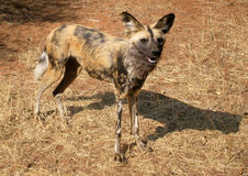 afrikansk wild hundlycaonpictus Royaltyfri Foto