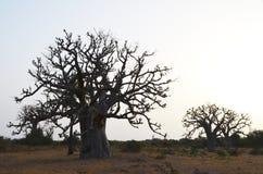 Afrikanska baobabs i den norr afrikanska savannahen Senegal, region av den Saloum floddeltan Arkivfoton