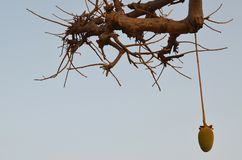Afrikanska baobabs i den norr afrikanska savannahen Senegal, region av den Saloum floddeltan Royaltyfria Bilder