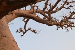 Afrikanska baobabs i den norr afrikanska savannahen Senegal, region av den Saloum floddeltan Fotografering för Bildbyråer
