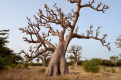 Afrikanska baobabs i den norr afrikanska savannahen Senegal, region av den Saloum floddeltan Royaltyfri Foto