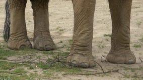 Afrikanska ben för africana för buskeelefantLoxodonta stock video