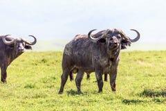Afrikanska bufflar Arkivfoton