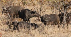 Afrikanska bufflar i naturlig livsmiljö