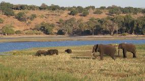 Afrikanska bufflar och elefanter på floden i den Chobe nationalparken Arkivbilder