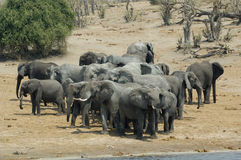 afrikanska buskeelefanter royaltyfria foton