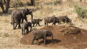 Afrikanska buskeelefanter och lös buffel i den Kruger nationalparken Arkivbilder