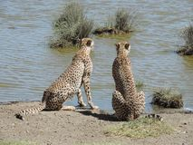 Afrikanska cheetas i träd i den Serengeti nationalparken, Tanzania royaltyfria bilder