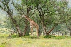 afrikanska djur Royaltyfri Fotografi