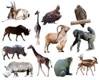 Afrikanska djur. Isolerat på vit Arkivbild