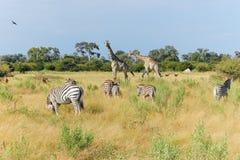 Afrikanska djur som tycker sig om i ett fält Royaltyfria Bilder