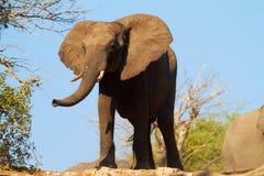 afrikanska elefanter Royaltyfri Bild