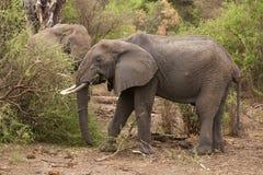 Afrikanska elefanter Royaltyfria Foton