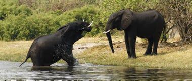 Afrikanska elefanter Royaltyfria Bilder