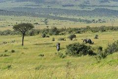 Afrikanska elefanter arkivbild