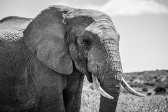 Afrikanska elefanter B&W fotografering för bildbyråer