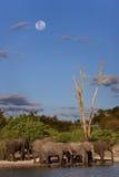 Afrikanska elefanter - Botswana Arkivbilder