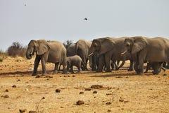 Afrikanska elefanter, den Loxodon africanaen, kör en waterhole Etosha, Namibia Royaltyfria Foton