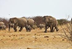 Afrikanska elefanter, den Loxodon africanaen, kör en waterhole Etosha, Namibia Royaltyfri Foto