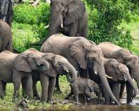 Afrikanska elefanter; Dricka för Loxodontaafricana Royaltyfri Bild