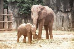 Afrikanska elefanter för moder och för son Fotografering för Bildbyråer