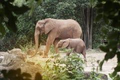 Afrikanska elefanter för moder och för son Arkivfoto