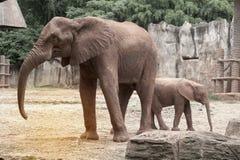 Afrikanska elefanter för moder och för son Royaltyfria Bilder